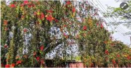 বাংলাদেশ কৃষি বিশ্ববিদ্যালয় সেজেছে বোতল ব্রাশ ফুলে